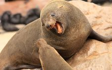 Free Angry Seal Stock Photography - 18236142