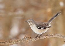 Free Northern Mockingbird, Mimus Polyglottos Stock Image - 18237321