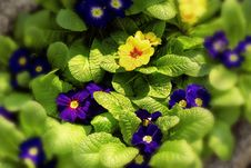 Free Yellow And Blue Primroses Stock Photography - 18237652