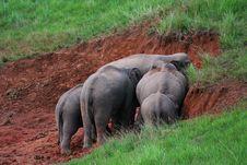 Free Asian Elephant Royalty Free Stock Photo - 18238375