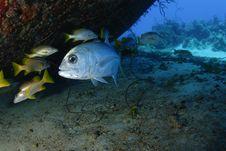 Free Big Eyed Jack Fish Stock Photo - 18239480