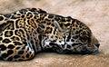 Free Jaguar Stock Photo - 18241510