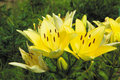 Free Yellow Lilies Royalty Free Stock Photo - 18243655