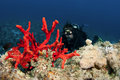 Free Scuba Divers On Coral Reef Royalty Free Stock Photography - 18248047