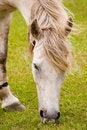 Free WHITE HORSE GRAZING Royalty Free Stock Photo - 18249455