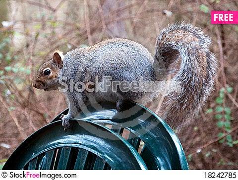 Free English Grey Squirrel Royalty Free Stock Photo - 18242785