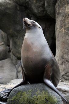 Free Proud Sea Lion Stock Image - 18240911