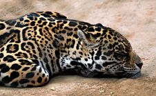 Free Jaguar Stock Photo - 18241510