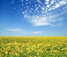 Free Sunflowers Royalty Free Stock Photo - 18241985