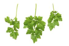 Free Herbs Parsley Stock Images - 18242024