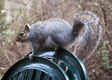 Free English Grey Squirrel Royalty Free Stock Photo - 18242785