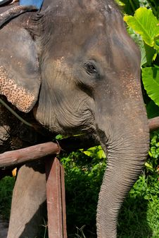 Free Elefant (thailand-phuket) Royalty Free Stock Photography - 18243087