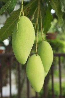 Free Tree Mango Stock Photos - 18243553