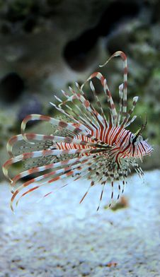Free Lion Fish Stock Photography - 18243892
