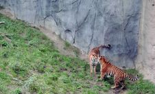 Free Tigers Stand Off Royalty Free Stock Images - 18244809