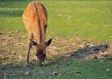 Sika Deer Nara Royalty Free Stock Photography