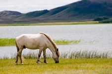 Free WHITE HORSE GRAZING Stock Photos - 18249443