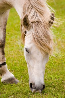 Free WHITE HORSE GRAZING Royalty Free Stock Photo - 18249455