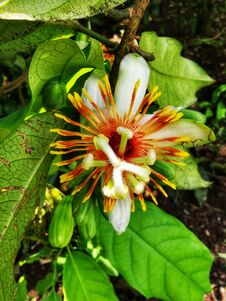 Free PASSION FLOWER TROPICAL RAINFOREST Stock Photo - 182446090
