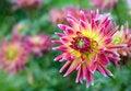 Free Blooming Dahlia Stock Image - 18251211