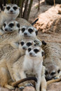 Free Meerkats. Royalty Free Stock Images - 18255719