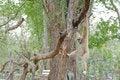 Free Brown Gibbon Hanging On Tree. Royalty Free Stock Photos - 18255798