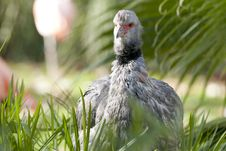 Free Crested Or Southern Screamer Stock Photo - 18250860