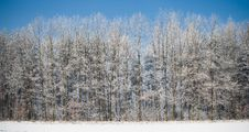 Free Frozen Forest With Blue Sky Above Panorama Royalty Free Stock Photo - 18252345