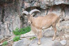 Bighorn Sheep Ram. Stock Photo