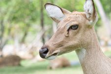 Free Whitetail Doe. Royalty Free Stock Photography - 18255837