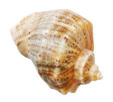 Free Shell Mollusks Stock Photos - 18258463