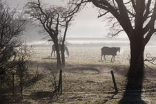 Horses In Morning Mist Royalty Free Stock Images