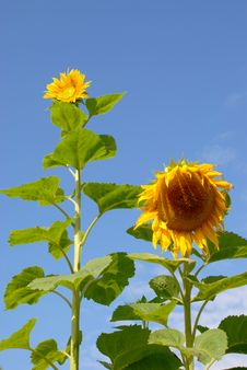 Free Few Sunflower Stock Photography - 18259892