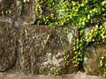 Free Wall And Vines Stock Photos - 18265453