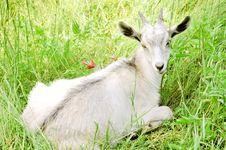 Free Young White Goat Stock Image - 18263191