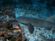 Free Nurse Shark Stock Photo - 18263300