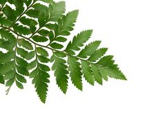 Free Fern Leaves Isolated Royalty Free Stock Image - 18264186