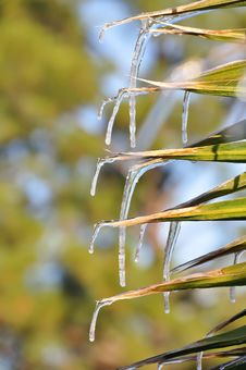 Free Palm Leaf Icicles Stock Photo - 18264350