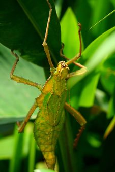 Free Leaf Insect Royalty Free Stock Photos - 18264888