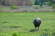 Free Adult Buffalo Royalty Free Stock Photo - 18266165