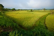 Free Rice Field Stock Images - 18266624
