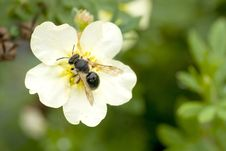 Free Wasp On Shrubby Cinquefoil Stock Images - 18268094