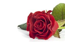 Free Beautiful Red Rose Royalty Free Stock Image - 18268326