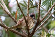 Free Sleepy Eurasian Tree Sparrow Royalty Free Stock Photography - 18268857