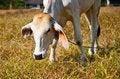 Free Cow Stock Photo - 18271790