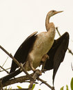 Free African Darter Royalty Free Stock Images - 18274259