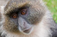 Free Sykes  Monkey Stock Photos - 18270183