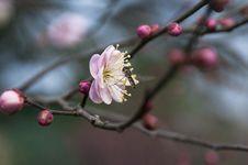 Free Peach Blossom Stock Photo - 18270390