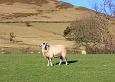 Free Hillside Sheep Royalty Free Stock Images - 18272189