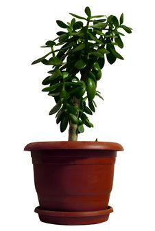 Free Green Bush In A Red Pot On A White Background Royalty Free Stock Photo - 18273905